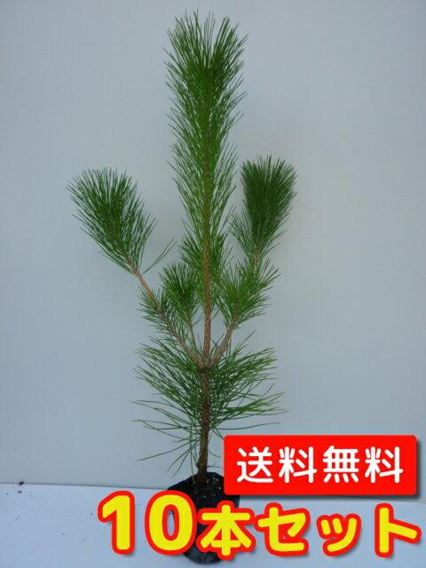 クロマツ 【10本セット】 樹高0.25m前後 10.5cmポット 【送料無料】 黒松 /