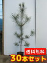 クロマツ 【30本セット】 樹高0.8m前後 10.5cmポット 【送料無料】 黒松 ※別途≪送料無料≫セット商品も販売中。