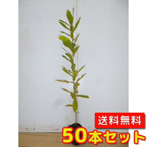 コナラ 【50本セット】 樹高0.4m前後 10.5cmポット 【送料無料】 / /