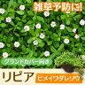 リピア(ヒメイワダレソウ) 【84本セット】 / 9cmポット 【送料無料】...