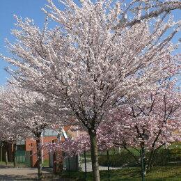 ソメイヨシノ樹高1.5m前後(根鉢含まず)※別にお買い得送料無料セットも販売中。
