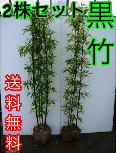 クロチク 【2株セット】 樹高1.5m前後 根巻き 【送料込み】 根巻き 3本立ち〜黒竹くろちくクロタケくろたけ