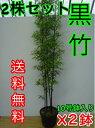 クロチク 【2鉢セット】 樹高1.5m前後 30cm鉢 【送料込み】 3本立ち〜 高級竹・黒竹くろちくクロタケくろたけ 鉢入り