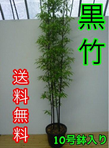 クロチク / 樹高1.5m前後 30cm鉢 【送料込み】 3本立ち〜 高級竹・黒竹くろちくクロタケくろたけ 鉢入り
