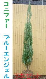 ブルーヘブン(ブルーエンジェル)コニファー生垣H1500〜1700