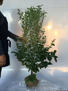 ブルーベリー・ブルーシャワー 樹高1.2m前後 根巻き 【 単 品 】 【Y1送料無料】 ぶるーべりー ぶるーしゃわー ラビットアイ系 ブルーベリー 販売 苗 植木 苗木 庭木 垣根 生垣 生け垣 目隠し