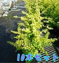 プリペット・レモンアンドライム 樹高0.3m前後 15cmポット 【10本セット】 【T1送料無料】 ぷりぺっと・れもんあんど…