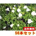 サギゴケ・シロバナサギゴケ 【56本セット】 / 9cmポット 【送料無料】 /白花 /多年草