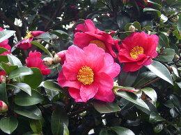 【送料無料】サザンカ樹高0.4m前後タチカン赤花(生垣樹木)