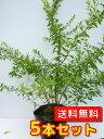 ユキヤナギ【5本セット】樹高0.5m前後15cmポット【送料無料】雪柳/