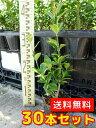 マサキ 【30本セット】 樹高0.5m前後 10.5cmポット 【送料無料】 / /