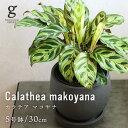 カラテア マコヤナ カラテアマコヤナ calathea makoyana 5号 5寸 30cm 観葉植物 育て方ガイド付き