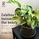 カラテア ロウイサエ タイ ビューティー calathea louisae thai beauty 5号 5寸 35cm 観葉植物 斑模様 育て方ガイド付き