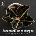 ジュエルオーキッド アノエクトチラス ロクスバーギー Anoectochilus roxburghii 2号 2寸 10cm 観葉植物 宝石蘭 アネクトキルス 育て方…