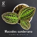 ジュエルオーキッド マコデス サンデリアーナ Macodes sunderiana 2号 2寸 10cm 観葉植物 宝石蘭 育て方ガイド付き