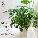 【敬老の日】マドカズラ monstera friedrichsthalii monstera swiss cheese plant 窓葛 フリードリヒスターリー 6号 ロング 6寸 70cm …