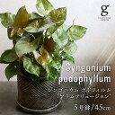 【敬老の日】シンゴニウム ポドフィルム プラムアリュージョン シンゴニューム ポドフィラム syngonium podophyllum 5号 5寸 45cm 観葉…