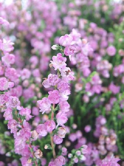 カルーナ ブルガリス 八重咲き ピンク花(5号)