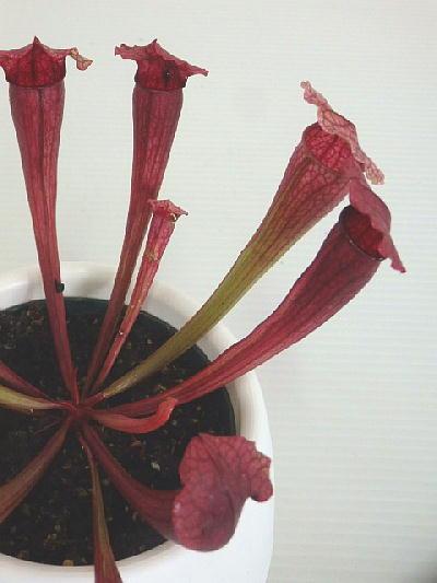 食虫植物 サラセニア  フィラデルフィア(4.5号底面給水鉢)