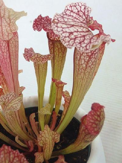 食虫植物 サラセニア  レウコフィラ レッド(4.5号底面給水鉢)