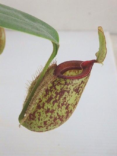 食虫植物 ネペンテス フーケリアーナ(ウツボカズラ)(4号)