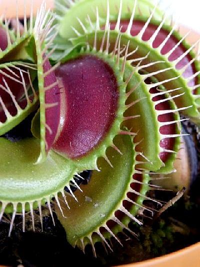 食虫植物 ハエトリソウ(3.5号)タイプA