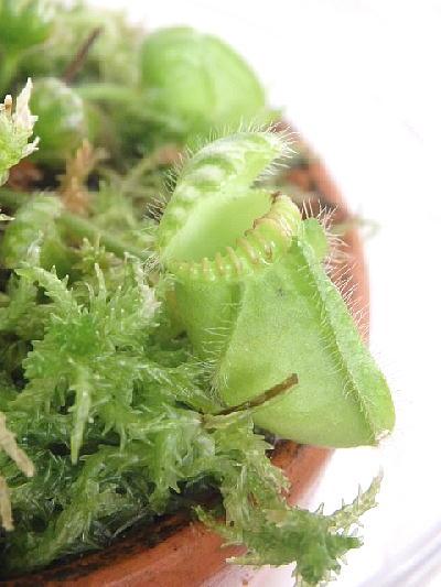 食虫植物 セファロタス(4号プラスチック容器)