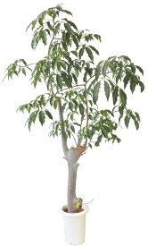バオバブの木(7号)【現品販売】【同梱不可】【代引き決済不可】