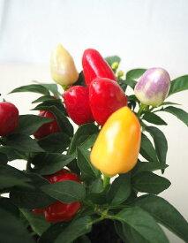 【写真のような色とりどりの実はありません】トウガラシ観賞用 秋祭り(3号)400⇒