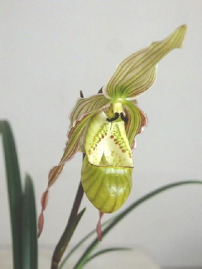 【花なし 株のみ】原種 フラグミペジウム ペアルセイ (2.5号)2500