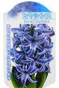 ヒヤシンス ブルー 3球植え(4号)【人気】