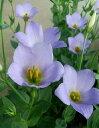 トルコ桔梗 シェリー 紫花(3号)