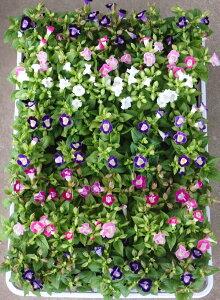 トレニア(ナツスミレ)ミックス 6ポットセット(3号)特選花苗 セット販売 まとめ買い/花壇植え