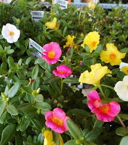 ※ポーチュラカ ミックス 40ポットセット(3号)特選花苗 セット販売 まとめ買い/花壇植え