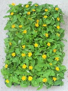 メランポジューム 24ポットセット(3号)/メランポジウム特選花苗 セット販売 まとめ買い/花壇植え