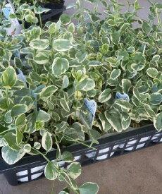 ※ツルニチニチソウ 斑入り 24ポットセット(3号)特選ガーデン苗 セット販売 まとめ買い/花壇植え