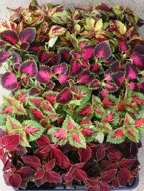 ※特選コリウス ミックス 6ポットセット(3号)ガーデン苗 セット販売 まとめ買い/寄せ植え カラーリーフ