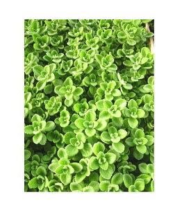プレクトランサス アロマティカス 3ポットセット(2.5〜3号)特選ガーデンリーフ ハーブ苗 セット販売 まとめ買い/寄せ植え