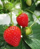 【秋冬予約品A】本気野菜・らくなりイチゴ(3号)サントリーフラワーズ【お届けは10月13日以降です】