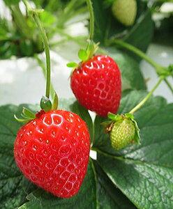 【秋冬予約品A】本気野菜・らくなりイチゴ(3号) サントリーフラワーズ【お届けは10月13日以降です】