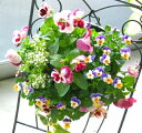 パンジー&ビオラのハンギングバスケット寄せ植え「いちごピーチ」(シンプル)開花期:今から春まで(ハンギング/寄せ…