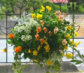 ビオラのハンギングバスケット寄せ植え「yellow&yellow」(Mサイズアレンジ)開花期:今から春まで(ハンギング/寄せ植え/秋/冬/セット/ギフト/花/フラワー(2019)
