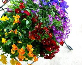 [送料無料] [Lサイズ]ビオラのハンギングバスケットの寄せ植え 店長アレンジ「Rainbow(レインボー)」開花期:今から春まで(ハンギング/寄せ植え/秋/冬/セット/ギフト/花/フラワー(2020)