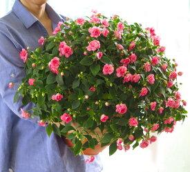 【在庫6個限り】八重咲きインパチェンスの大鉢仕立て 送料無料*ダブルインパチェンス〜Grande*(花うるる人気の「メガ盛り鉢植えシリーズ」鉢植え 寄せ植え 新築祝い 内祝い 誕生日
