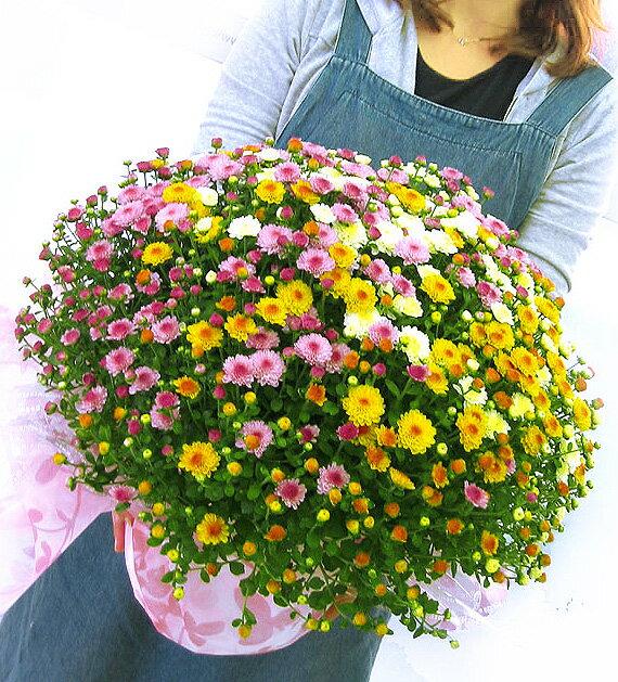 満開時は、、なんと1 0 0 0 輪咲き! 秋咲きガーデンマムのメガ盛り鉢植え〜グランデ サイズ (ジジ3色)(鉢植え 花 鉢花 鉢 寄せ植え プレゼント ギフト 誕生日