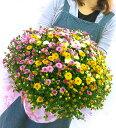 満開時は、、なんと1 0 0 0 輪咲き! 秋咲きガーデンマムのメガ盛り鉢植え〜グランデ サイズ (ジジ3色)(鉢植え 花 鉢花 鉢 寄せ植え プ…