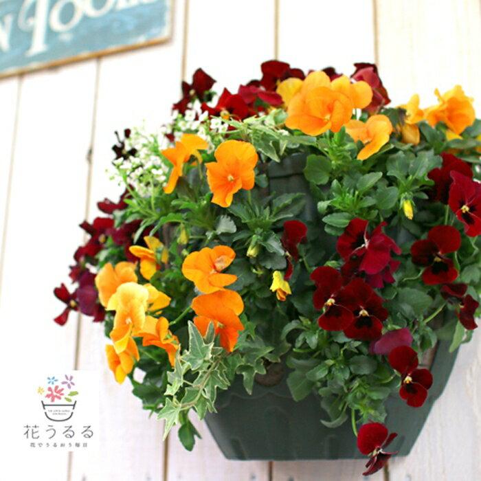お買い物マラソン 売り尽くしSALE!ビオラのハンギングバスケット寄せ植え 「オレンジベリー」(シンプル)開花期:5月初旬まで
