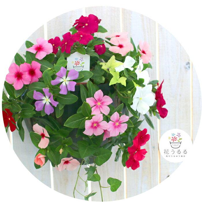 ハンギング寄せ植え「ニチニチソウのカラフルMIX」開花期:〜11月(寄せ植え ギフト フラワー 玄関 ガーデニング セット 苗