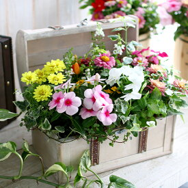 【数量限定】【送料無料】「おまかせプレミア寄せ植え in トレジャーBOX〜Mサイズ〜」精巧な作りのアンティークBOXに季節の花苗をアレンジ。( ギャザリング 寄せ植え 春 夏 フラワー ギフト クラシック)