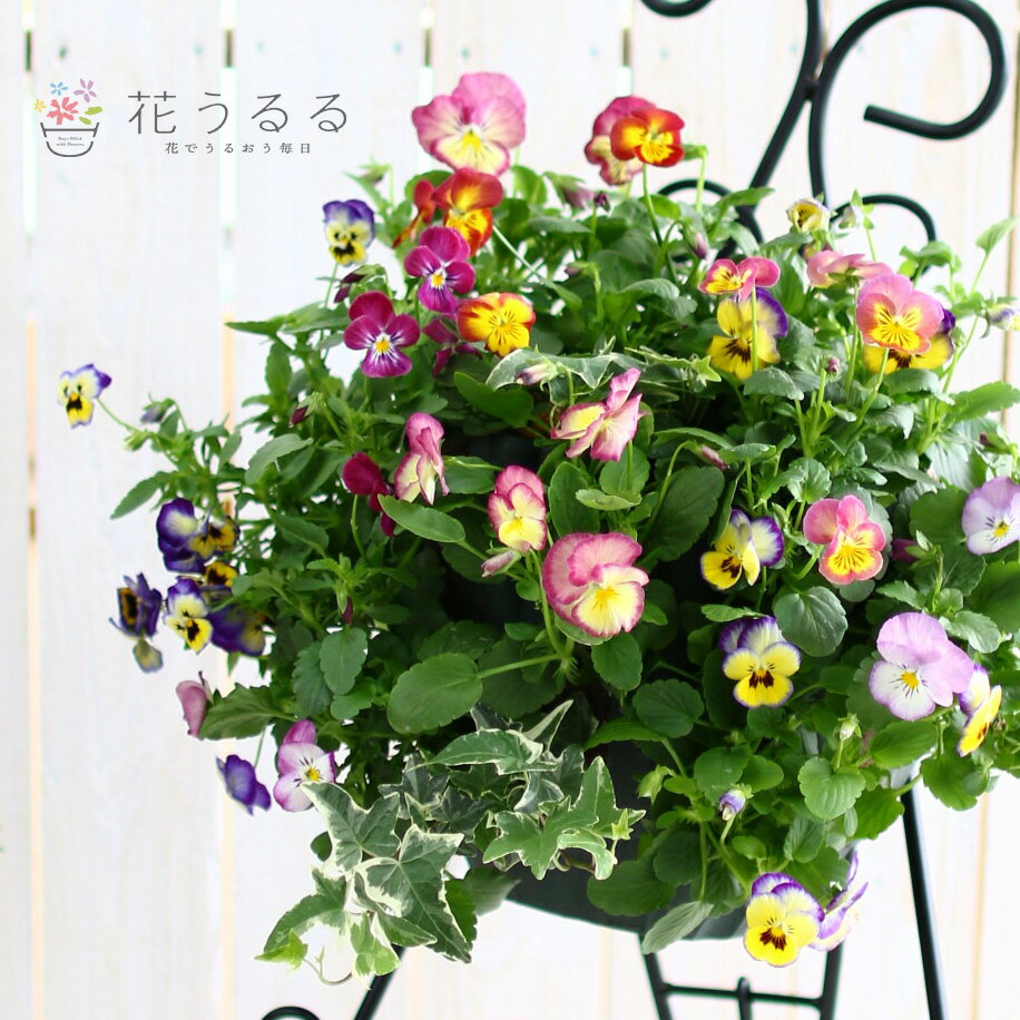 数量限定お買い得品!パンジーのハンギングバスケット寄せ植え 「虹色スミレMIX」(シンプル)開花期:今から春まで(ハンギング/寄せ植え/冬/セット/ギフト/花/フラワー